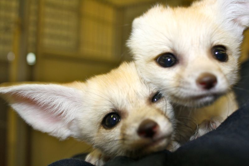 3 fennec fox