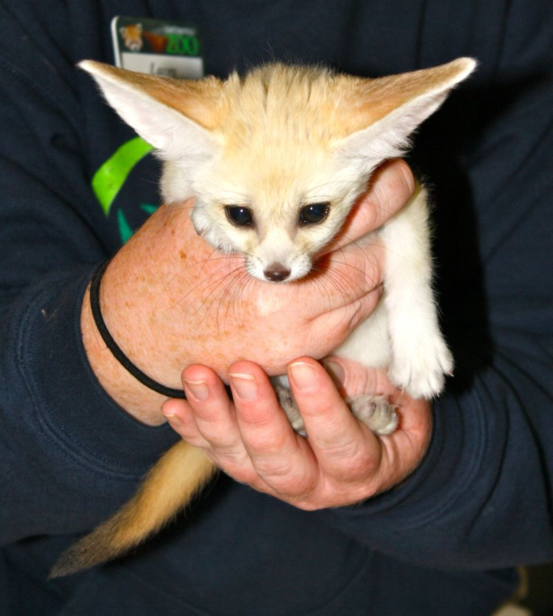 Fennec Fox Sisters are Animal Ambassadors at Chattanooga ...