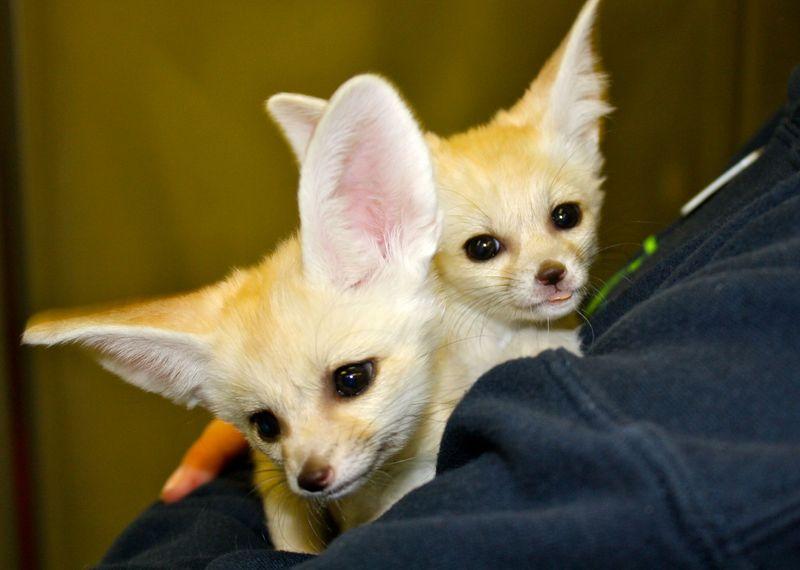 4 fennec fox