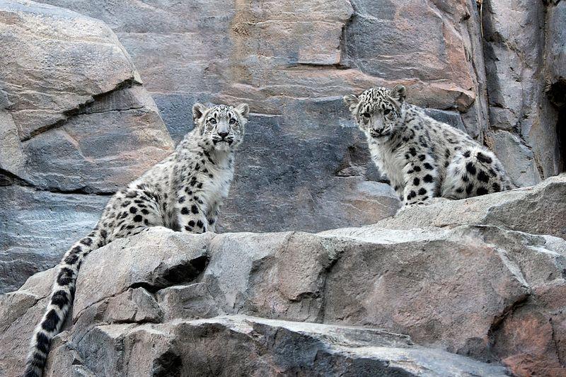 2 snow leopard