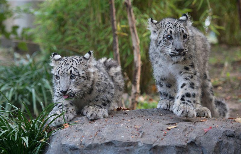 1 snow leopard