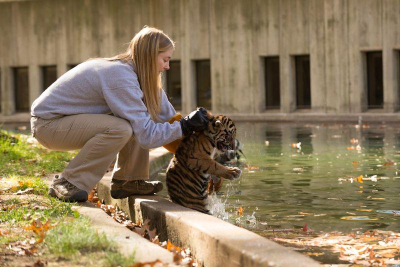 5 tiger