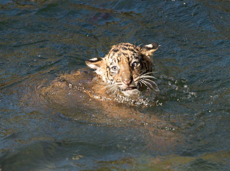 9 tiger