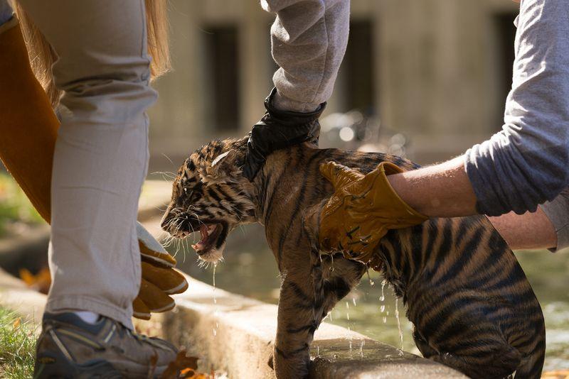 15 tiger