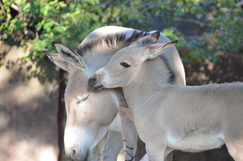 Somali-wild-ass-foal-2_photo-by-Robin-Winkelman-Saint-Louis-Zoo_10-20-13_large