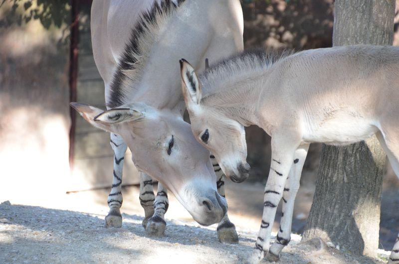 Somali-wild-ass-foal-1_photo-by-Robin-Winkelman-Saint-Louis-Zoo_10-20-13_large