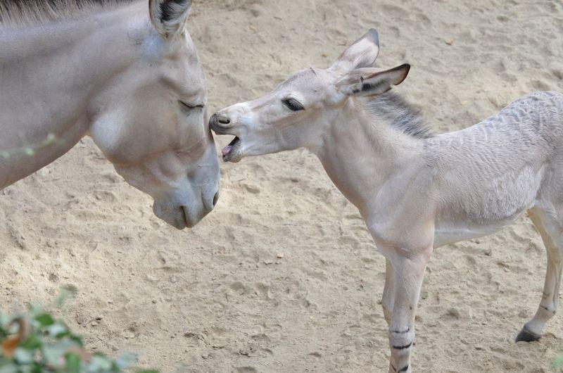 Somali wild ass foal-9_photo by Robin Winkelman Saint Louis Zoo_8-27-13_large