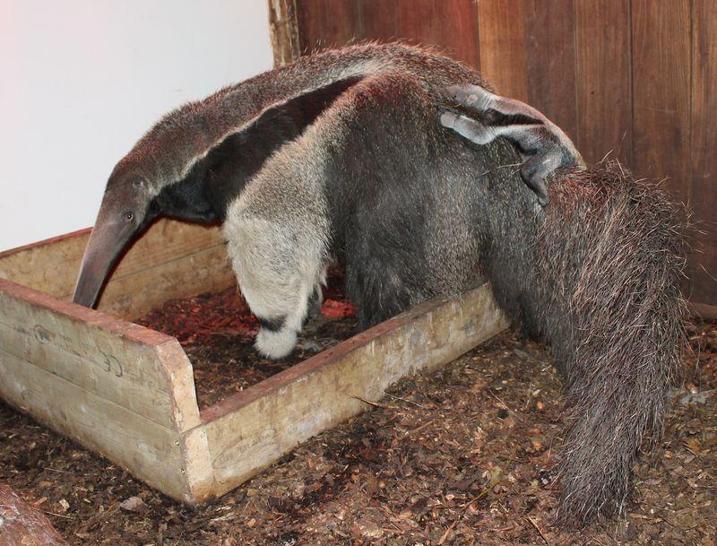 3 anteater