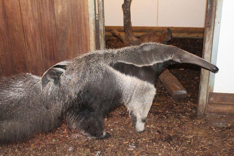 4 anteater