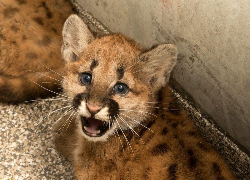1 cougar