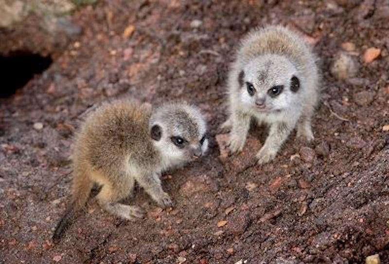 2 meerkat