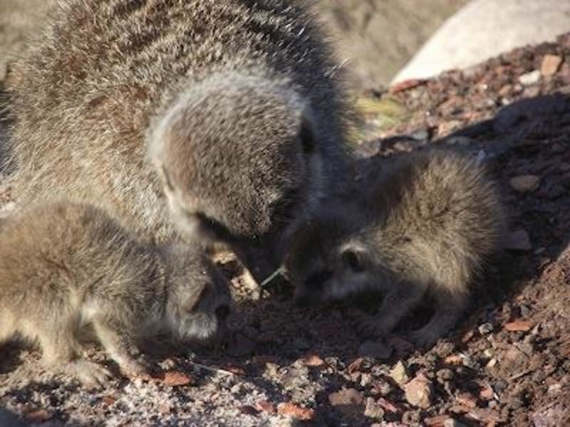 5 meerkat