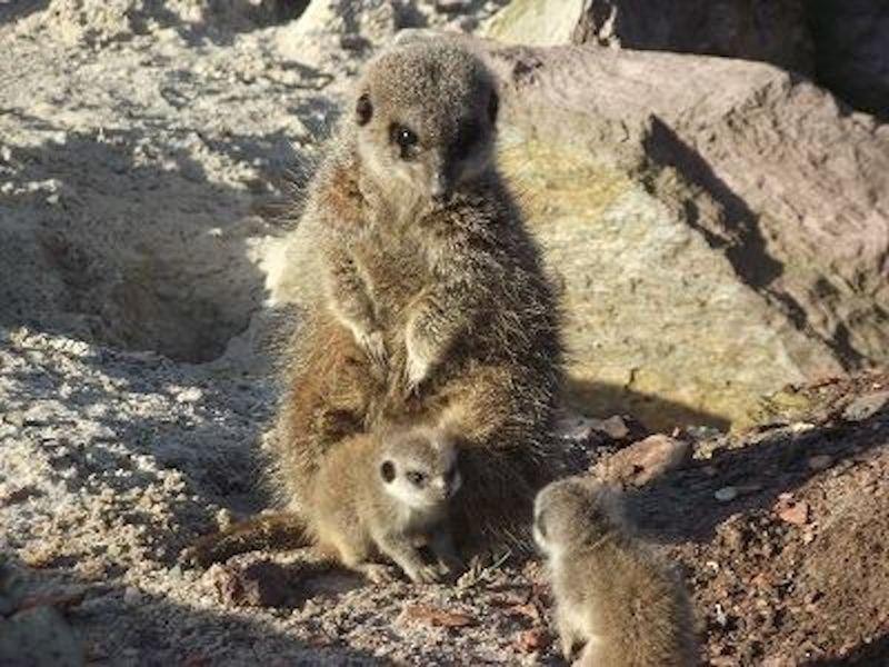 6 meerkat