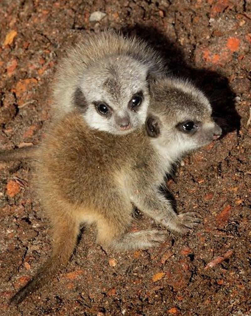 1 meerkat