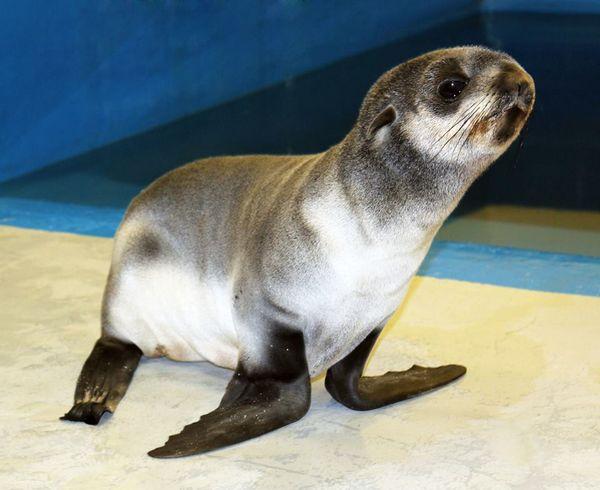 Orphaned Fur Seal on Track at Alaska SeaLife Center