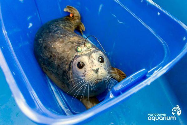 Vancouver Aquarium Releases Rehabilitated Harbor Seals
