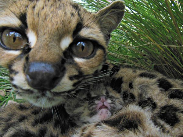 Margay Kitten Blends in with Mom at Bioparque M'Bopicuá