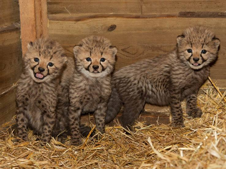4 cheetah
