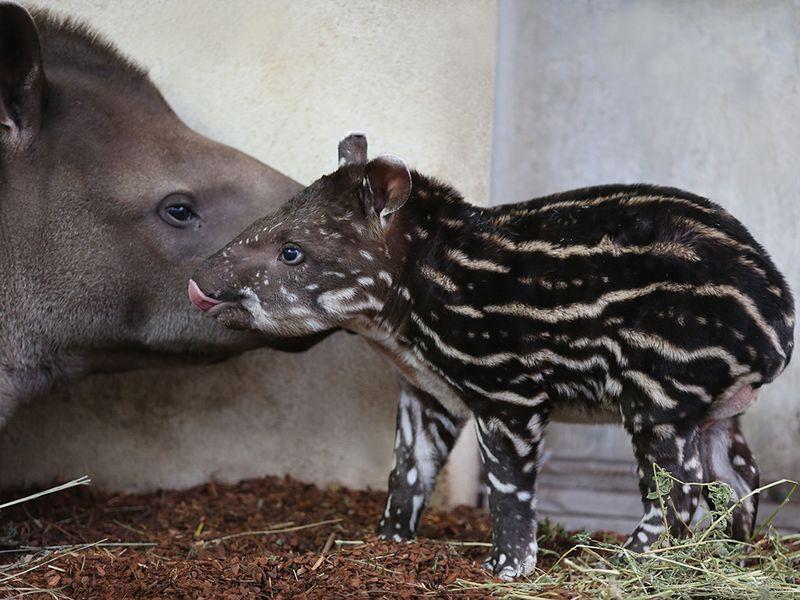 Bebe-tapir_ZooParc-de-Beauval