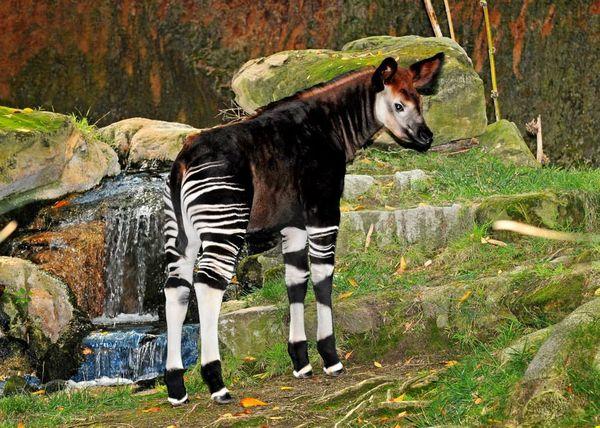 After A 28 Year Wait La Zoo Celebrates First Okapi Calf