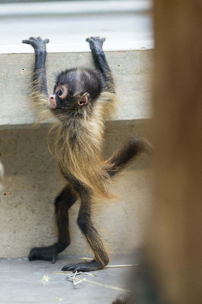 Spider Monkey - ZooBorns