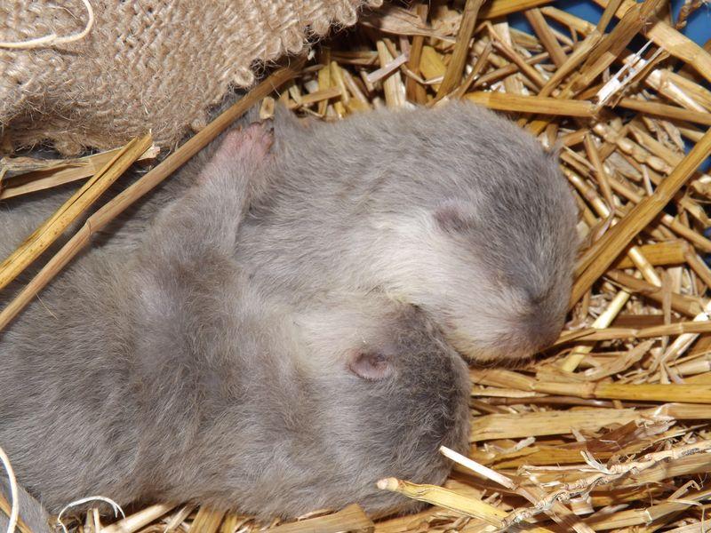 Otter pups 009
