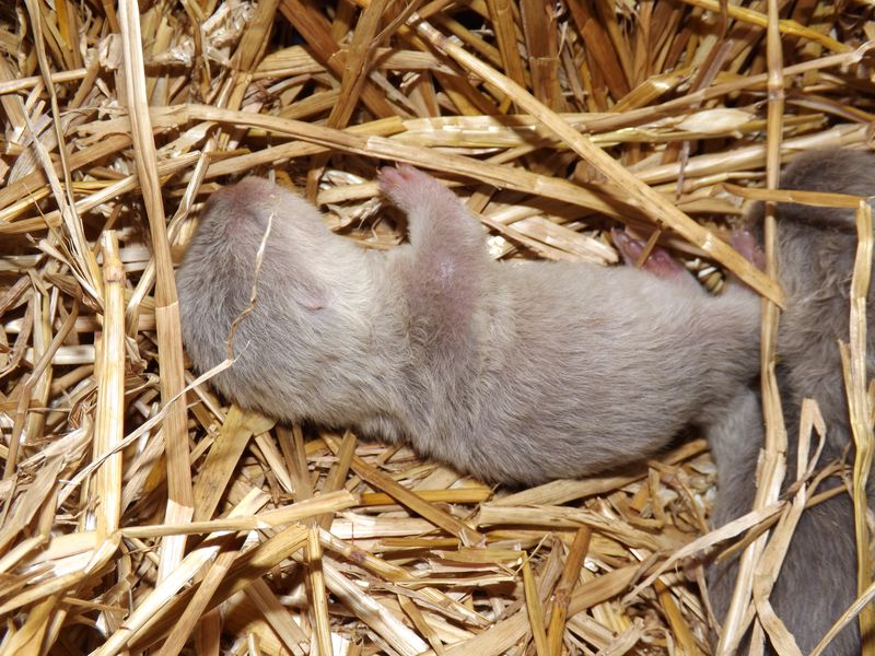 Otter pups 002
