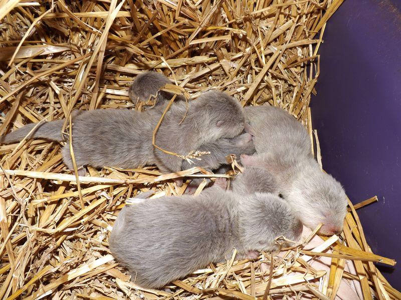 Otter pups 014
