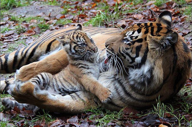 1 tiger