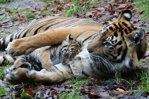 After a Successful Surgery, Sumatran Tiger Cub is Reunited with Mom