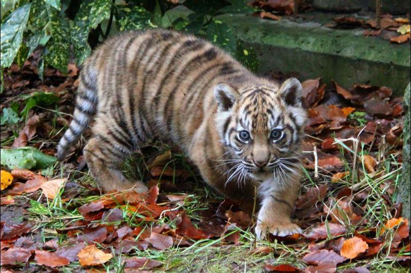 10 tiger