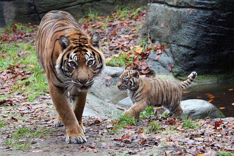 6 tiger