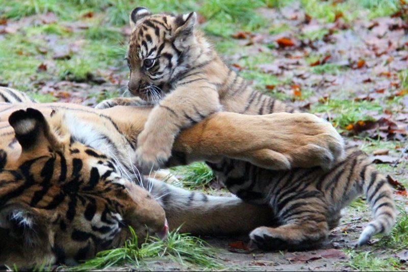 Tiger play