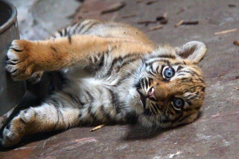 3 tiger