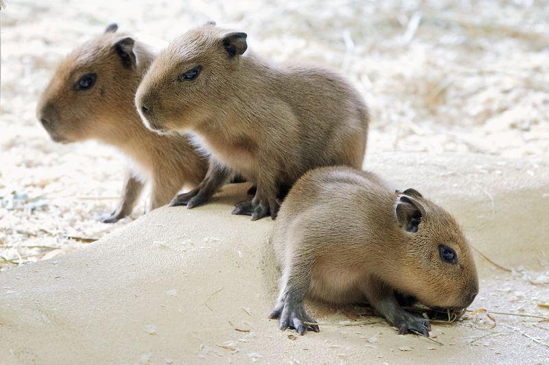 1 capybara mader