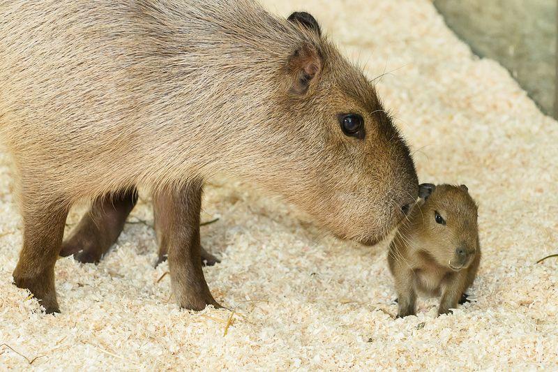 3 capybara zupanc