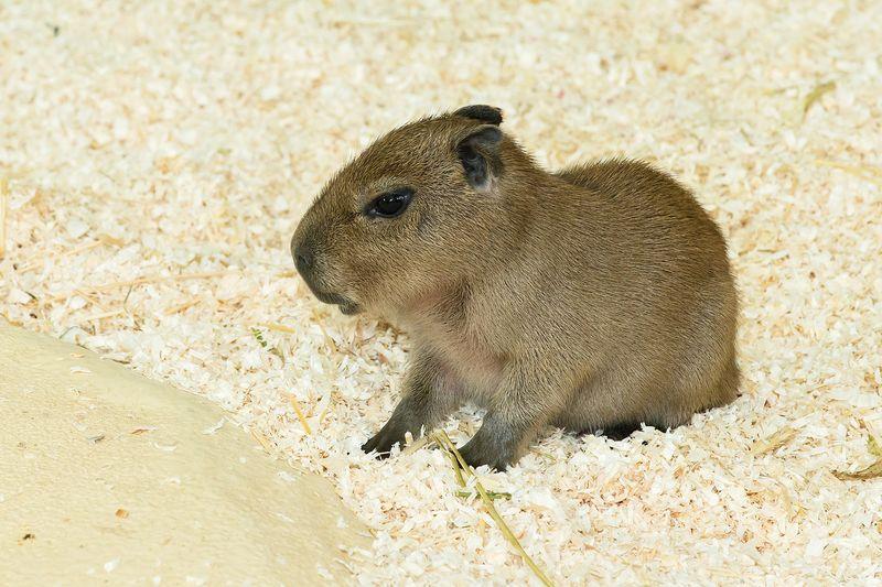 8 capybara zupanc