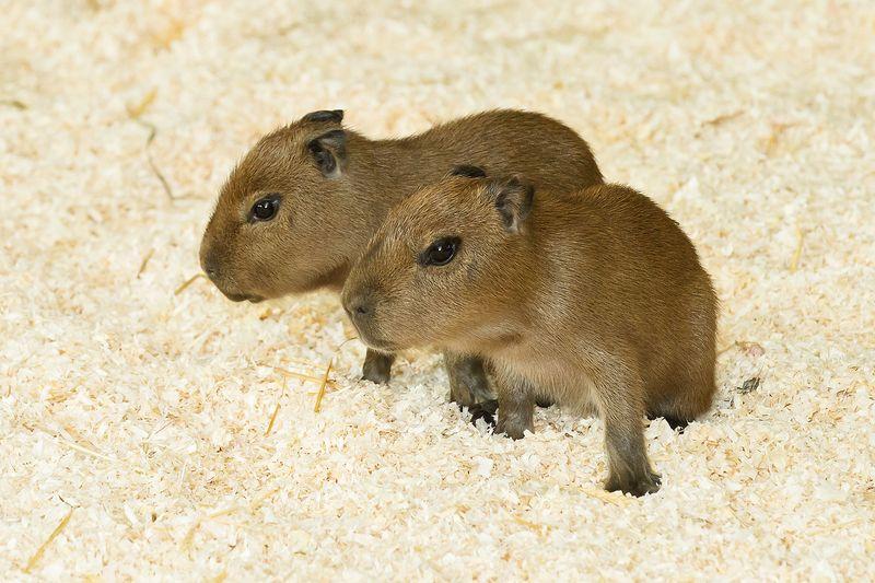 4 capybara zupanc