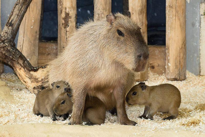 2 capybara zupanc