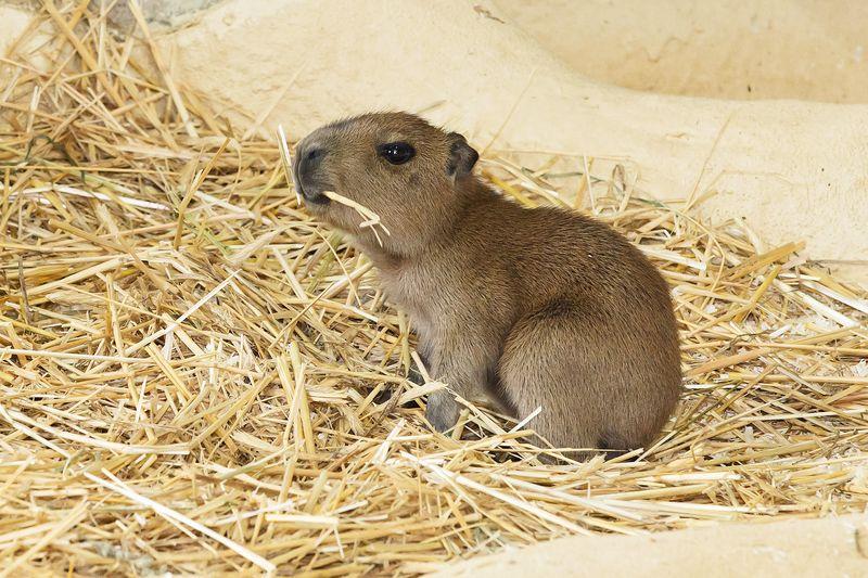 5 capybara zupanc