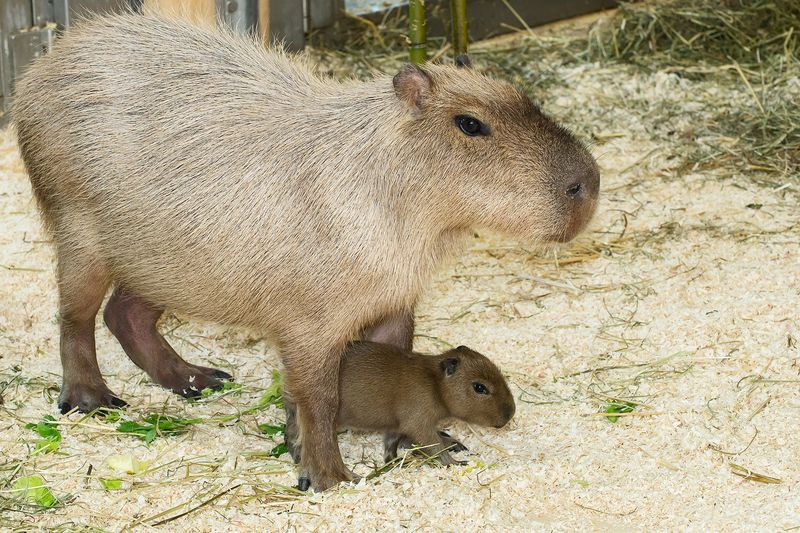 7 capybara zupanc