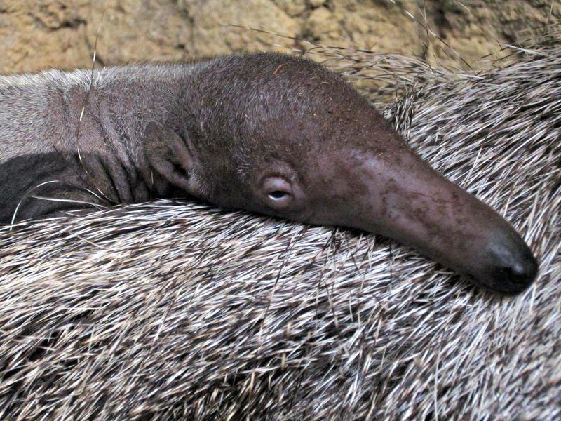 1 anteater
