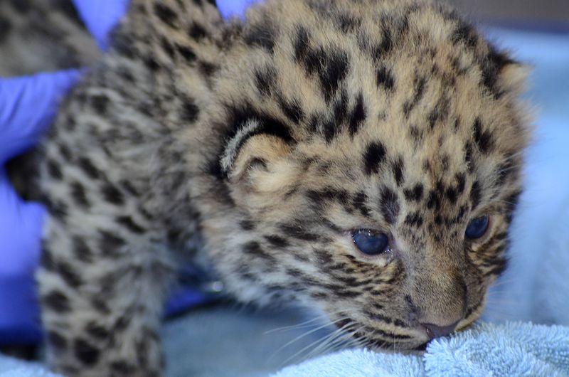 Amur leopard exam Jacksonville Zoo 120313 WRK 048