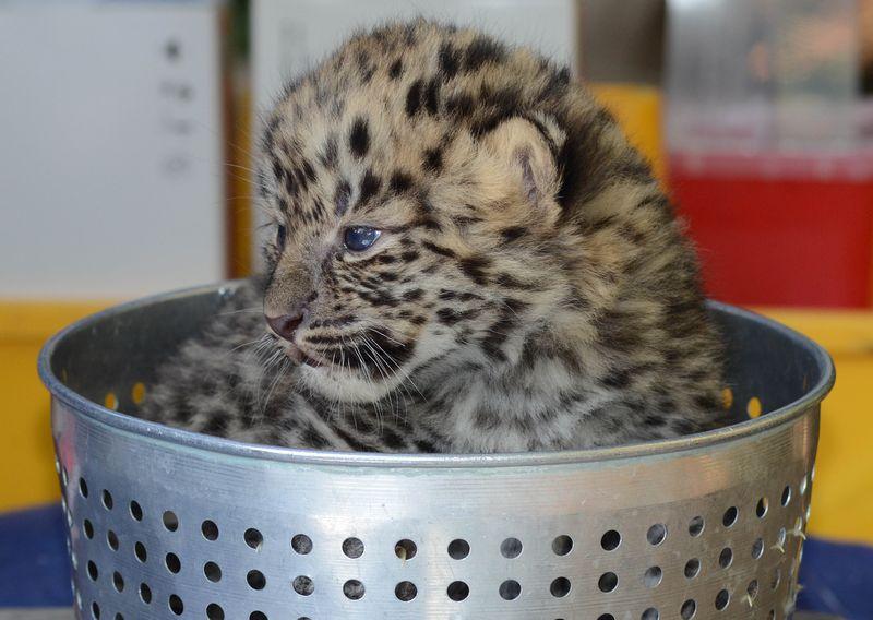 Amur leopard exam Jacksonville Zoo 120313 WRK 066