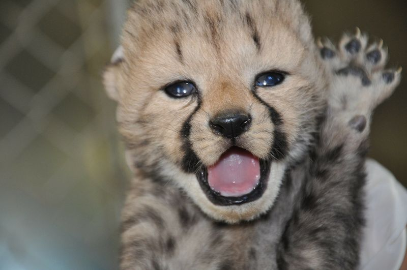 1 cheetah