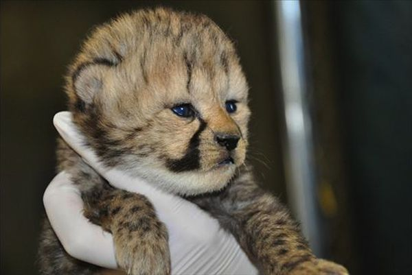 Two Cheetah Litters Born at Smithsonian Conservation Biology Institute