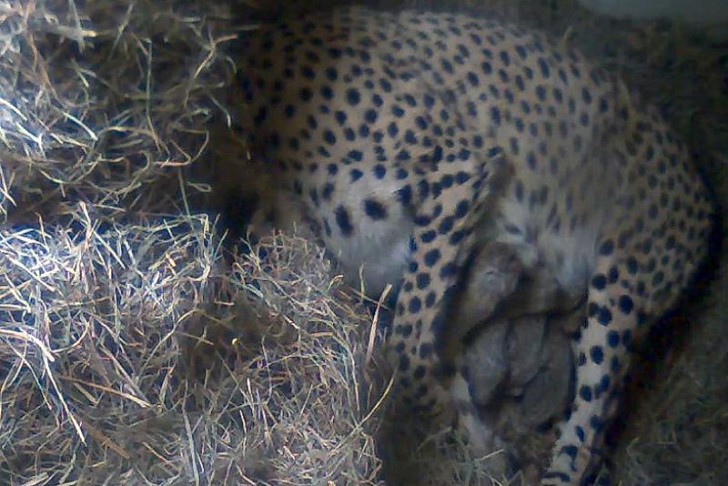 6 cheetah