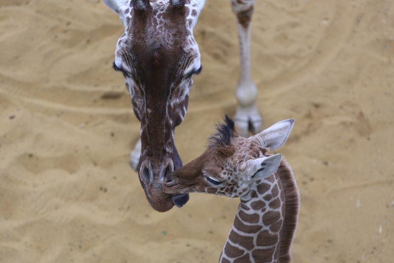 4 giraffe