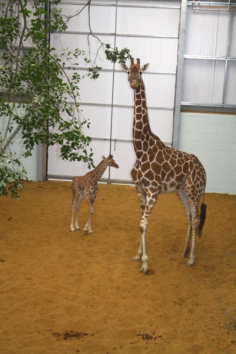 9 giraffe
