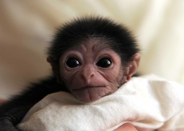 Baby Gibbon Is In Good Hands At Jackson Zoo Zooborns